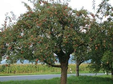 Apfelbaumwiesen