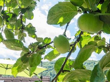 Diese Äpfel im Garten ihrer Ferienwohnung dürfen Sie pflücken