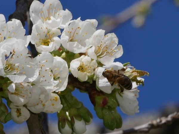 Kirschblüte im Wiesenttal in der großartigen Fränkischen Schweiz