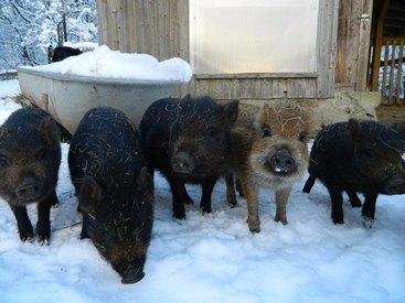 Unsere Minischweine