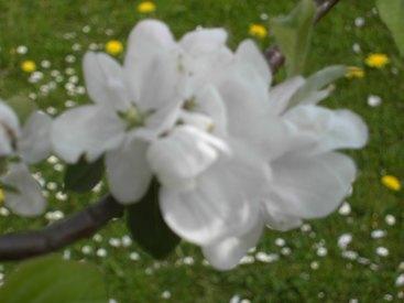 Obstblüte im Garten