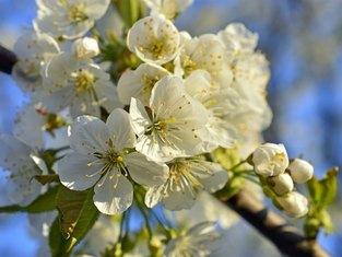 Erleben Sie die Kirschblüte im Herzen der Fränkischen Schweiz