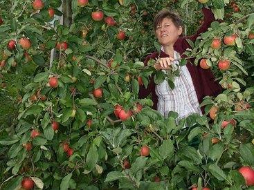 Äpfel vom Baum