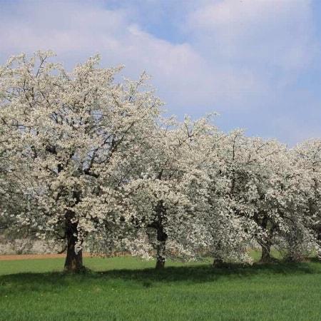 Baumblüte in Wiesenttal