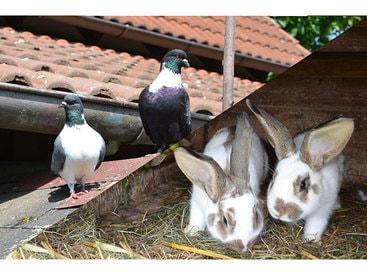 Der Anziehungspunkt für unsere kleinen Gäste: Unsere Tauben und Hasen!