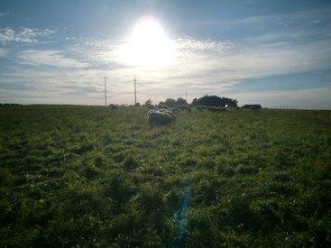 Die Schafsherde im Sonnenuntergang