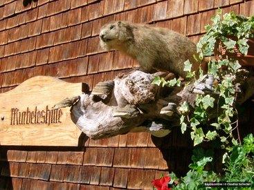 Sie geben der Hütte ihren Namen - Murmeltiere, Murmele im Allgäu, Mankei in Oberbayern genannt